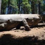 Yosemite National Park Mariposa Grove